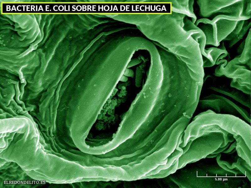 bacteria_e_coli_sobre_hoja_lechuga