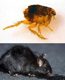 Lo ejes de la expansión: pulga y rata negra.