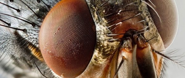Ojos de mosca ampliados.