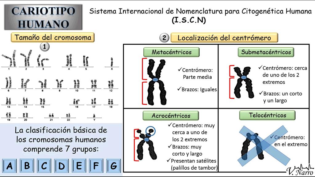 El cromosoma humano
