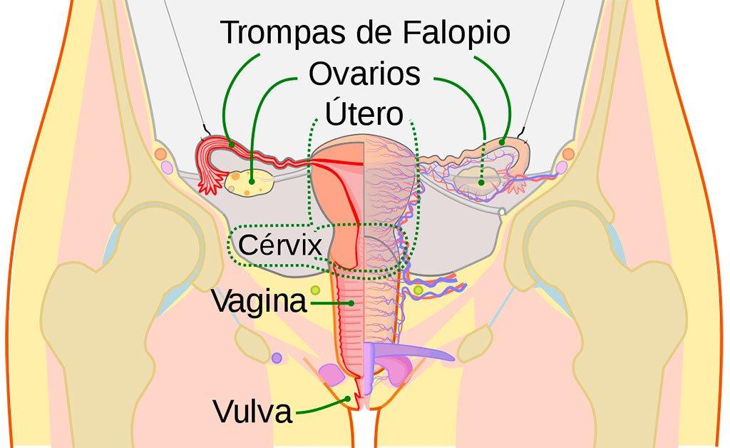 Organos sexuales femeninos