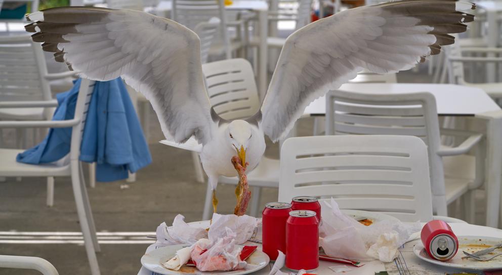 Gaviota robando comida