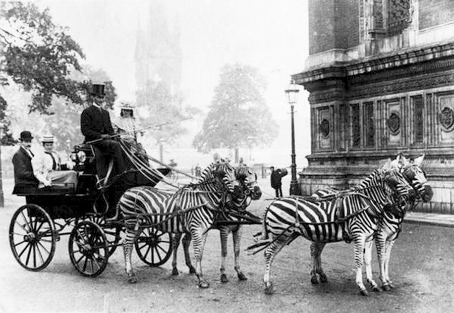 Cebras tirando de un carruaje en Londres