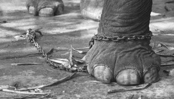 Elefante_encadenado
