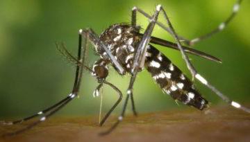 El mosquito tigre es vector de algunas enfermedades